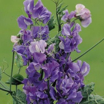 En traditionell söt ärta sort som fortfarande tar vissa misshandel . Dessa luktärtfrön producerar stora mid - blå doftande blommor . . [25,00kr]