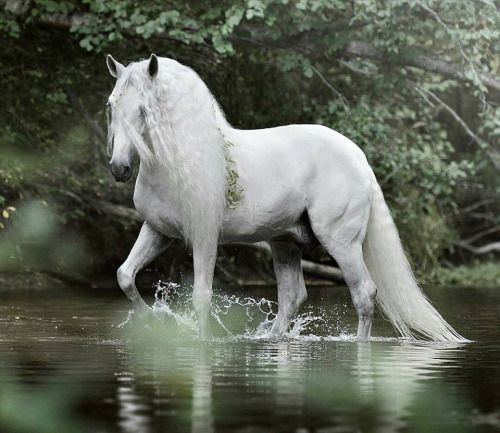 "White horse lazily walking through the stream. scarlettjane22: "" photo by Emmy Eriksson Photography Horses & Freedom """
