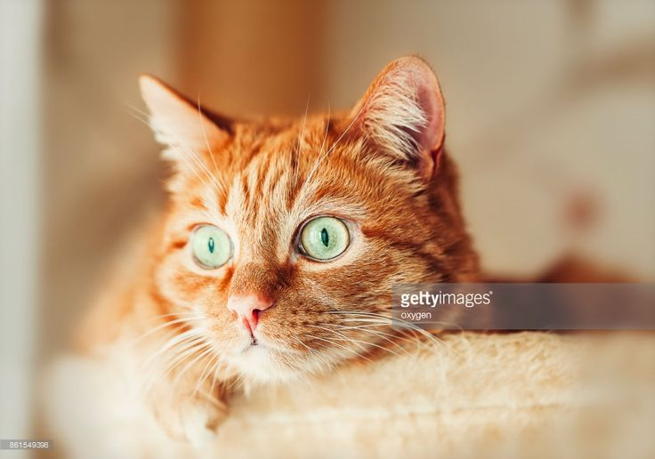 Stock Photo : Ginger cat with green eyes relaxing in a hammock at home by Oksana Ariskina. #OksanaAriskina #Cat #pets #Photography #funny #gingercat #Domestic #gettyimages #gettyimagescreative  #gettyimagesnew #getty #gettycreative
