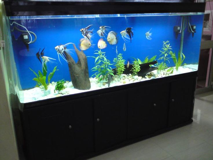 Best 25 freshwater aquarium sharks ideas on pinterest for Big freshwater aquarium fish