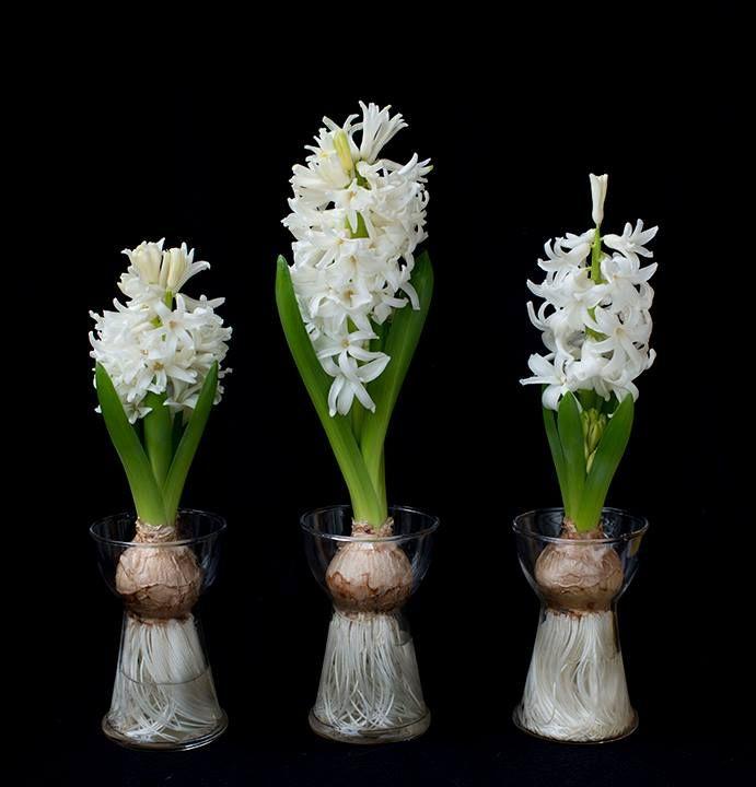 57 best Hyazinthen (Hyacinthus) images on Pinterest   Hyazinthe ...