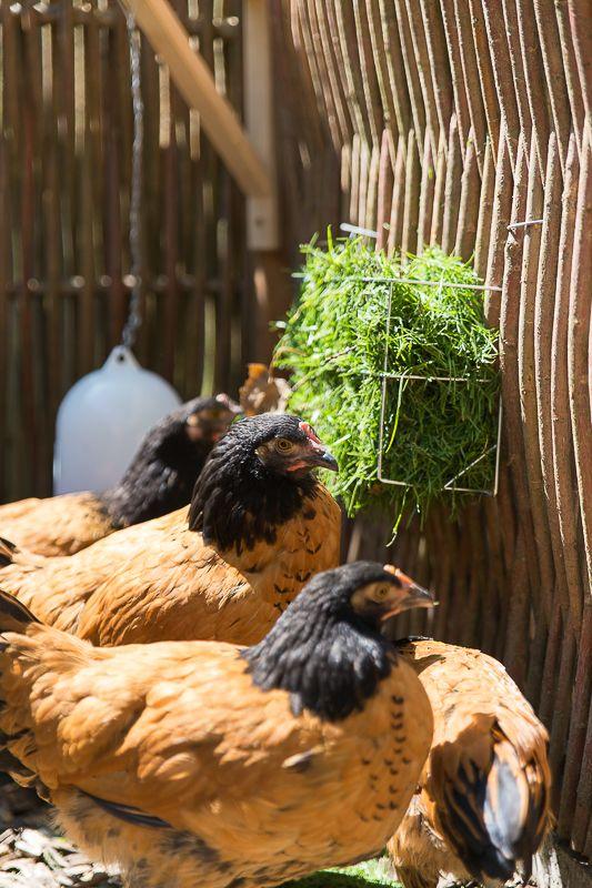 Hühner, Vorwerkhuhn, Hühnerhaltung, Garten, Huhn