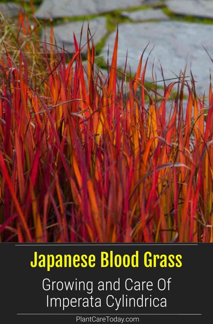 Japanese Blood Grass Care How To Grow Imperata Cylindruca Perennial Grasses Long Blooming Perennials Flowers Perennials