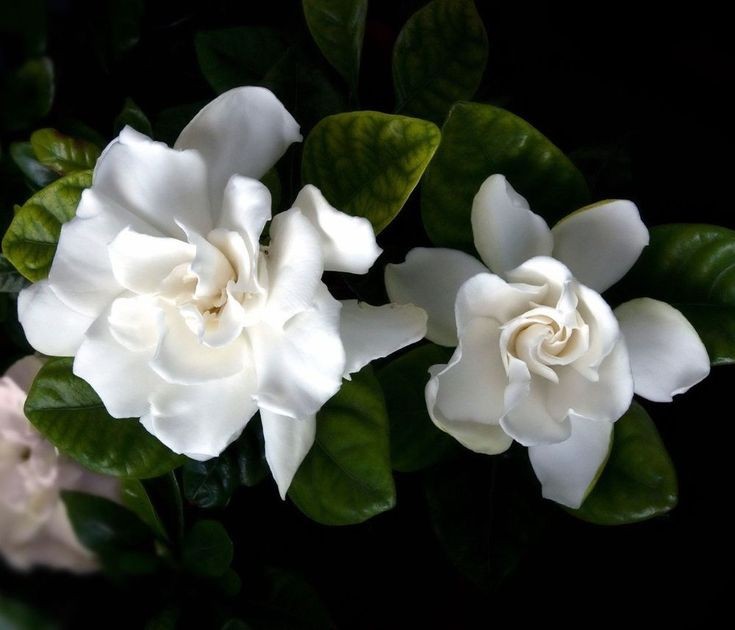 "Gardenia Live Plant Corsage 6""Pot Garden Flowers Yard Best Gift Outdoor Indoor #Gardenia #Custom"