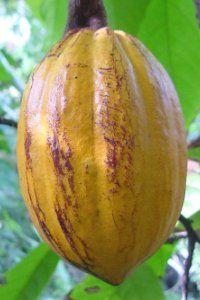 dessin cabosse de cacao - Recherche Google
