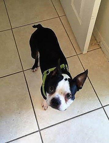 Boston Terrier dog for Adoption in Lake Mary, FL. ADN-550868 on PuppyFinder.com Gender: Male. Age: