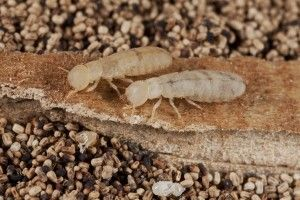 Termite Facts and Termite Prevention Tips | Drywood Termites