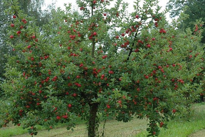 13-jähriger Apfelbaum nach Oeschbergschnitt - Foto: Hans-Joachim Bannier