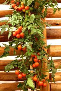 Horta em vaso: Tomates de apartamento
