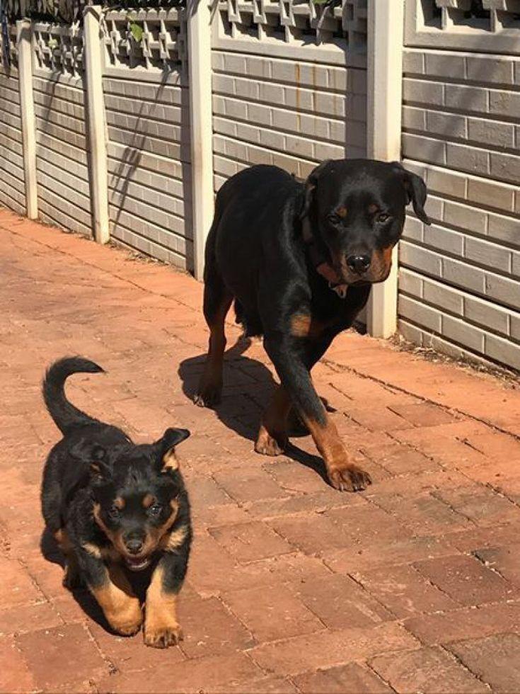 Park Art|My WordPress Blog_Rottweiler Pups For Sale In Nc