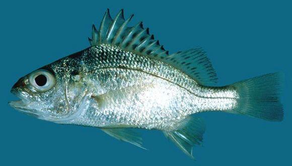 datina koral fish