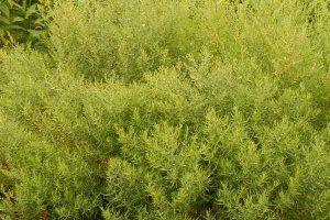 Eruca sativa plant