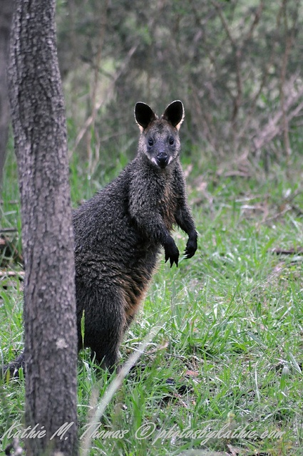 Another cute swamp wallaby. They'll watch from a distance but bound off (or should I say they go crashing) through the bushes if you get too close.
