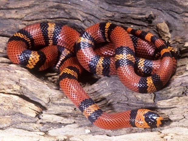 A 10ª mais bela, de acordo com o site, é a cobra do leite hondurenha, que é rubro negra, lembrando uma cobra coral, e possui escamas brilhantes  Foto: Jim Merli/Getty Images
