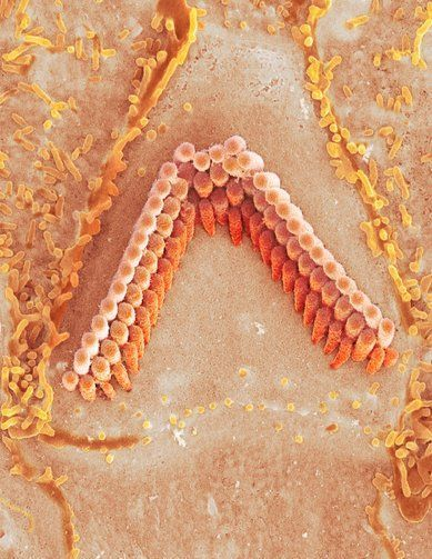 Inner ear hair cells. Coloured scanning electron micrograph (SEM) of sensory hair cells from the organ of Corti, in the cochlea of a mammalian inner ear. Each V-shaped arrangement of hairs lies on the top of a single cell.