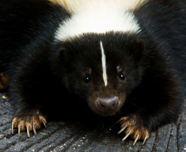 GENKAKU-AGAIN (adam fisher): the generosity of the skunk
