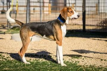 Eddie is available for adoption at National Mill Dog Rescue. #adopt #dog #nmdr #puppymill #adoptdontshop #rescuedogs #love  Animal ID : 18993036    Breed : Foxhound, American    Age : 2 years 5 months    Gender : Male    Color : White / Tan    Spayed/Neutered : Yes    Size : Medium NO KIDS