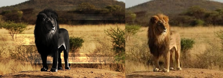 Fake Black Lion The Real Lion Is On The Right The One On The Left Is A Poor Photoshop Job There Are No Black Lions