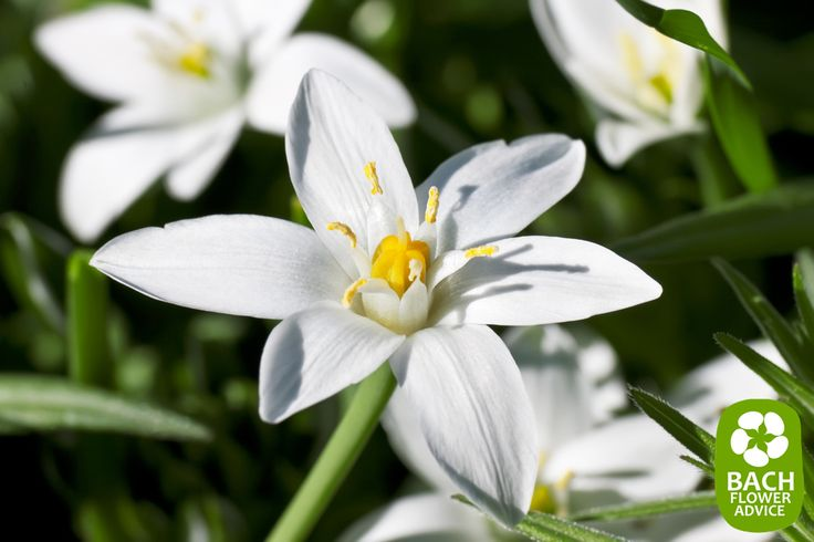 Bach flower remedy Star of Bethlehem is part of the 'pessimism and despair' group. The Bach Flower Essence Star of Bethlehem is used to treat individuals suffering from shock. #bachflowerremedies #edwardbach #starofbethlehem