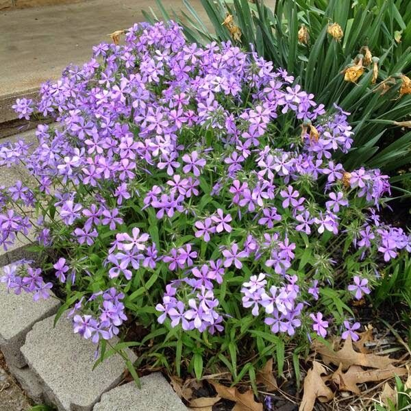 16 best images about missouri native plants on pinterest