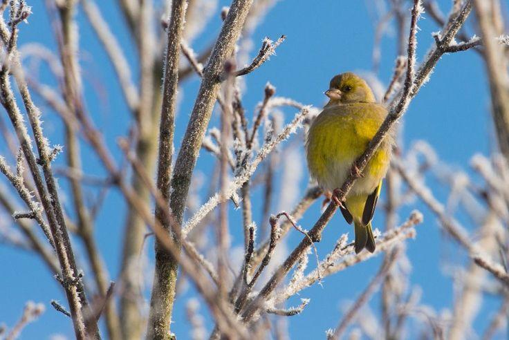 Ein Grünfink im winterlichen Brandenburg.