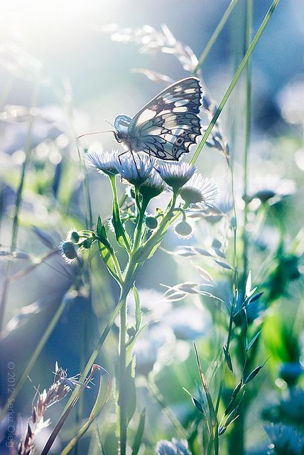 "Absolutely stunning capture of butterfly and light!  Beautiful photography by Serkiz Oleg!  ""Waking Dream"" Melanargia galathea. pin by Malu Santos on Shallow DOF Nature"