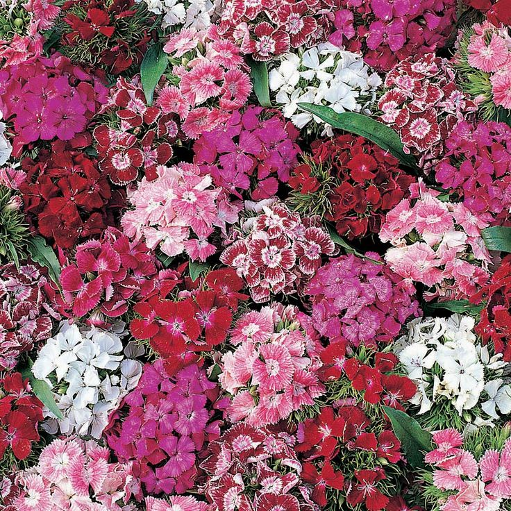 Loading zoom..                    Rollover image for an enlarged view.      .    Dianthus barbatus ,Sweet William,bi-annual, WS, 2012 from Prague  				  					  				  			  		    		    		  			  				Rollover image for an enlarged view  			  			  		    		    			  				  					  						  							  						  						  					  				  				  				  				  			  		  	    	  		  		  	   		Dianthus barbatus 'Summer Sundae'  		Sweet William  	     			  				Hardy Annual