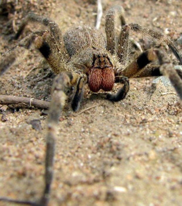 L'araignée-banane vit principalement dans les régimes de banane. Très agressive, elle possède un venin parmi les plus puissants de toutes les espèces d'araignées.
