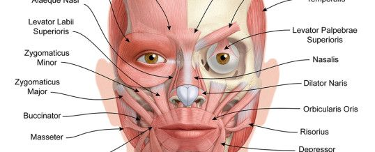 Facial Muscles And Nerves 121