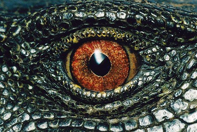 Image: Panay monitor lizard (© Joel Sartore/National Geographic/Caters)