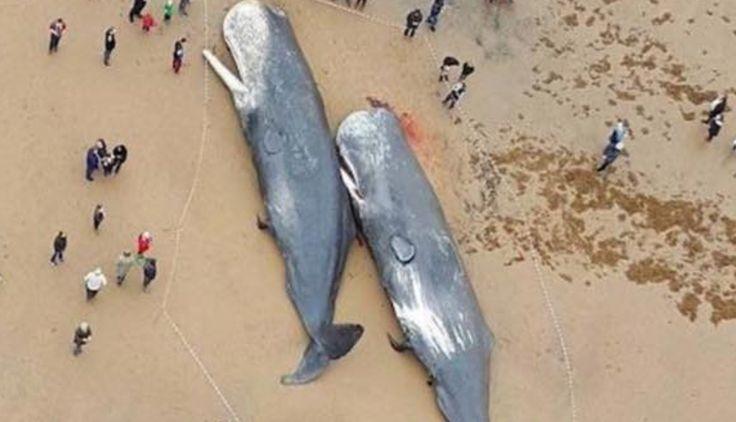 ドイツの海岸に大量のクジラの死骸…胃から出てきたものに全世界が衝撃を受ける… – News4Wide//自然界で朽ちるビニールやプラスチックが必要です。