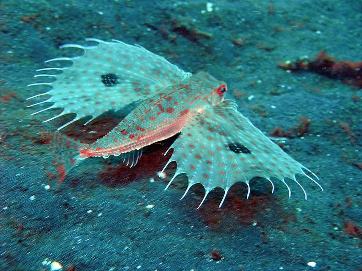 Oriental Flying Gurnard ( Dactyloptena orientalis )        Image Source    This deep-sea creature called the oriental flying gurnard is a flying gurnard found in the Indo-Pacific Oceans at depths    down to 100 m. Their length is up to 40 cm. The oriental flying gurnard has huge, round pectoral fins. The fins are usually    held against the body, but when threatened they can expand the 'wings' to scare off a predator.    Flying Gurnard ( Dactylopterus volitans )