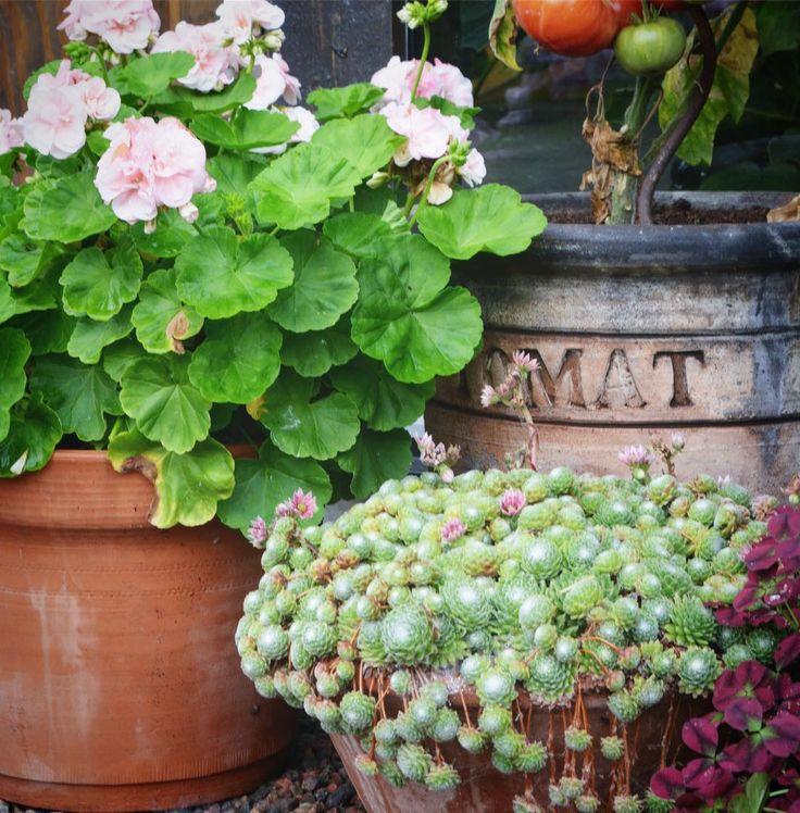 Det här med trädgård o årstiderna är ett märkligt fenomen, först planterar man pelargonior, tomater mm mm mm och är så lycklig när de växer, blommar o frodas oxå plötslig är man less på ljusrosa pelargoner o tomaterna struntar man i att vattna! Vill fylla pelargonkrukan med mörk alunrot eller ett buxbomklot istället. Tomterna skall slänga på komposten, vill röja o höst städa i köksträdgården lika mycket som jag ville så o pyssla med små tomatplantor i våras! Det är väll kanske det som kallas…