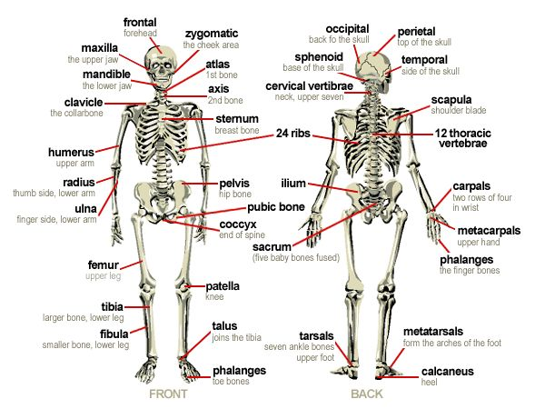 the 25+ best bones of the body ideas on pinterest | body bones, Skeleton