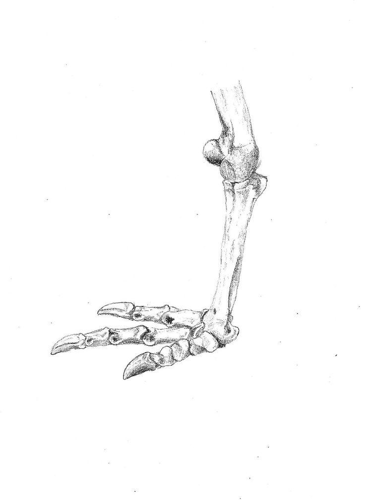 North Island Brown Kiwi foot skeleton, Aperyx mantelli