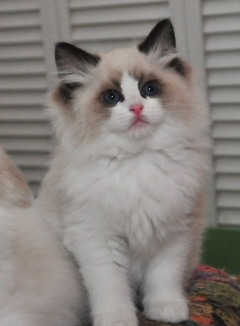 Ragdoll--i know I'm a dog person....but i want this beautiful baby so bad!