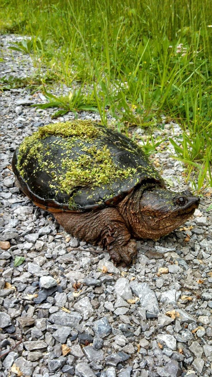 Warning turtles amp tortoises inc - Snapping Turtle At Cincinnati Nature Center