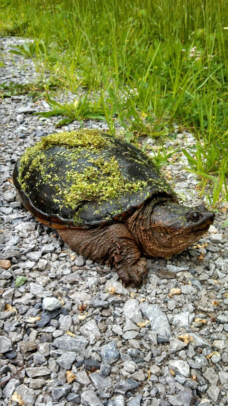 Snapping Turtle at Cincinnati Nature Center!