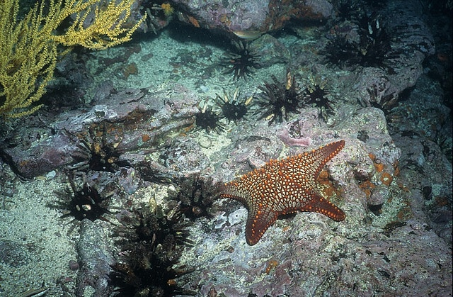 Starfish and pencil urchins, Galapagos by Derek Keats, via Flickr