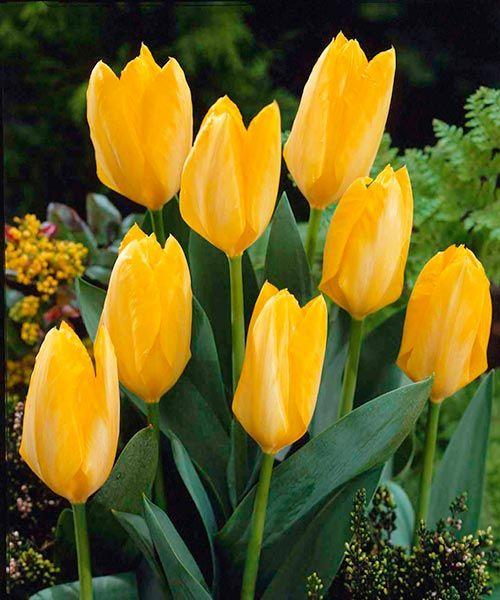 Botanické tulipány ´Yellow Purissima´. Kanárkově žlutý tulipán už stihl posbírat několik mezinárodních ocenění v soutěžích o nejkvalitnější tulipán. Nyní se může stát ozdobou Vaší zahrady ! Stanoviště: slunce-polostín, doba kvetení: duben, výška:asi 4 cm, k řezu.