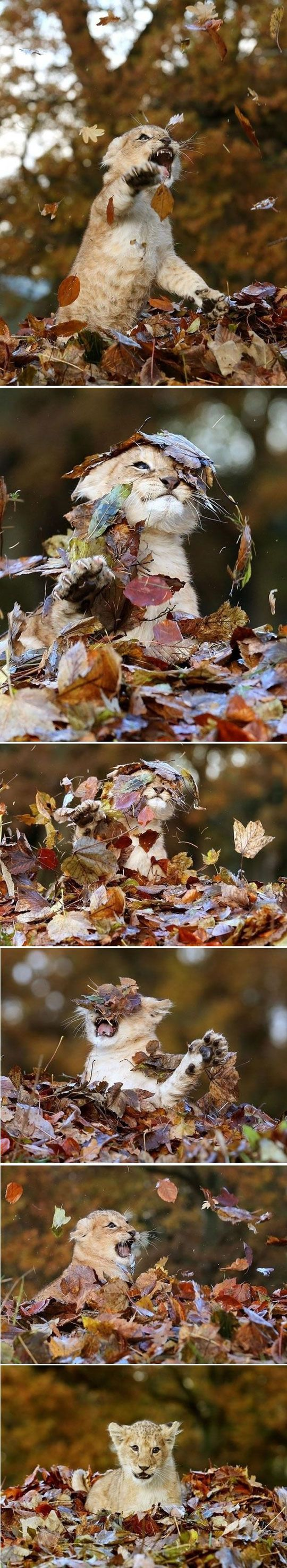 Photographer captures baby lion playing with leaves.