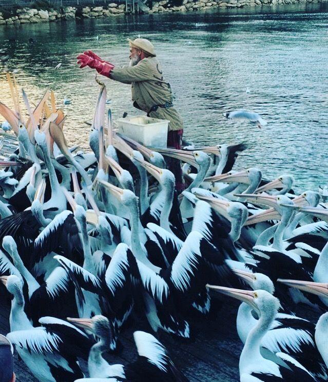 Pelican Feeding in Kingscote is a must do on Kangaroo Island! #kangarooisland #southaustralia