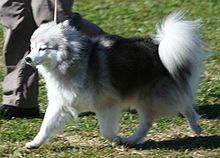 Alaskan Klee Kai -, a mini Husky that's chill and easy to train.... Ohh.. Oh I want one!
