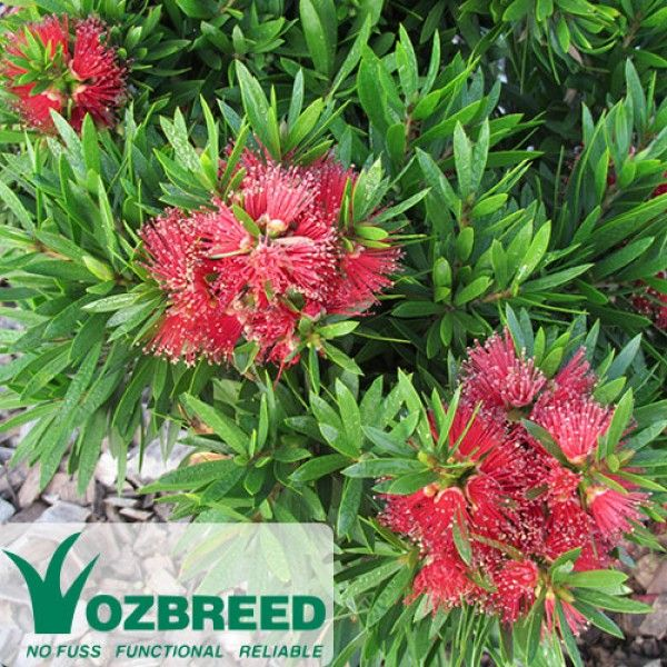 Callistemon 'Green John' Fresh lime-green new growth gives this plant its name. Very bushy, fast to establish, small, compact and dense. Small red bottlebrush flowers. Height is dependent on growing conditions, generally 60cm-1m.