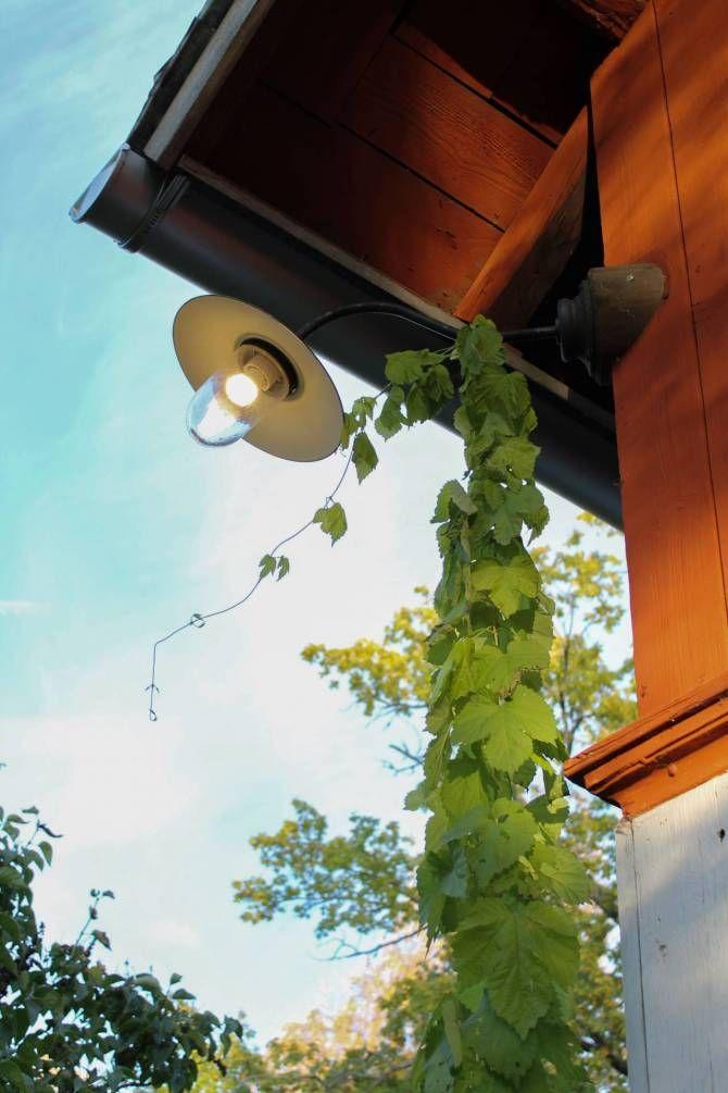 Guldhumle klättrar upp till bryggstugans stallampa. Foto: Erika Åberg
