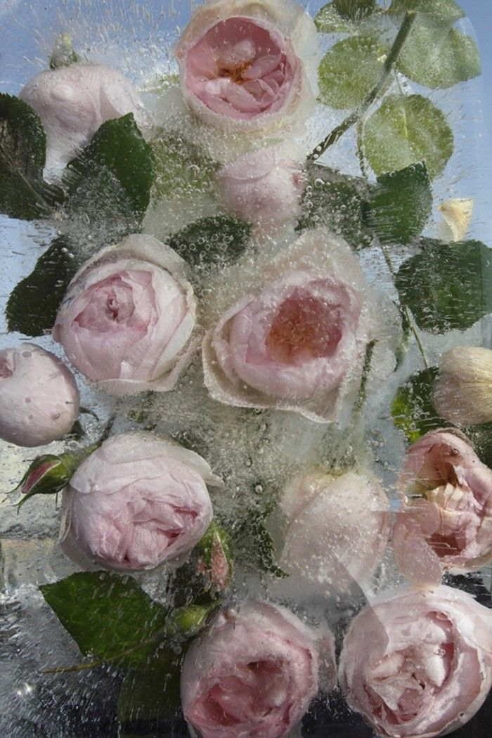Pink English Roses, 2012 Photography by Mary Kocol