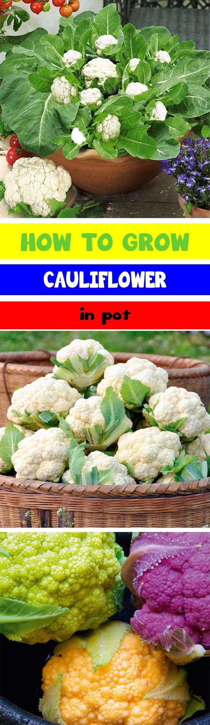 How to Grow Cauliflower in Pot, Growing Cauliflower in a Container, How to Grow Cauliflower, Vegetable Cauliflower, Cauliflower, Vegetables, Vegetable Garden, Spring Garden, Gardening, Tips, Homesteading, Gardening, Cool Season Crops, Container Gardening