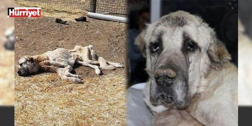 Ölmek üzereyken kurtarılan 'Şanslı'dan kötü haber: Sivas'ın Şarkışla ilçesinde ölmek üzereyken çöplükte bir hayvansever genç tarafından bulunan ve 'Şanslı' adı verilen köpek kurtarılmadı.