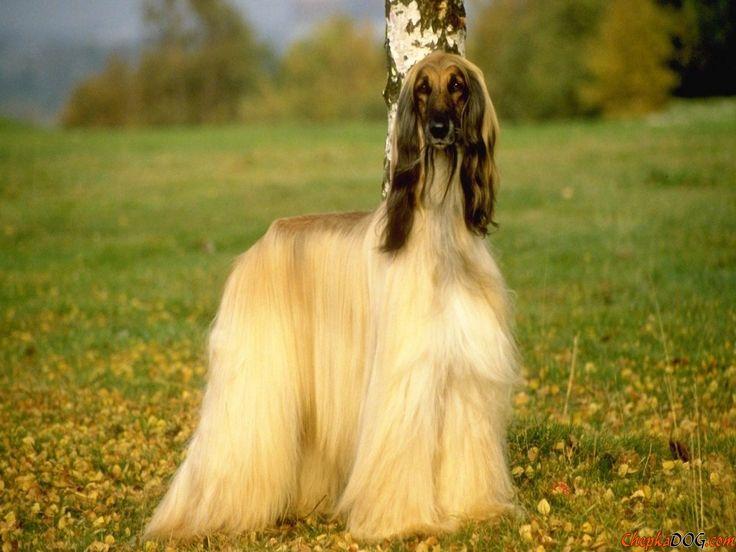 Afghanischer Windhund, elegant und anmutig.