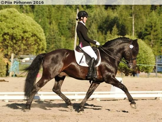 Finnhorse stallion Silvolan Hemminki